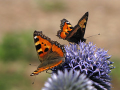 Two (Wilma1962*) Tags: butterfly kleinevos smalltortoiseshell vlinder mygearandmepremium mygearandmebronze mygearandmesilver mygearandmegold