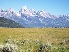 Antelope playing in the shadow of the Tetons (elayne_crain) Tags: meadow antelope wyoming grandtetons