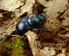 Anoplotrupes stercorosus, 2010 (andraszambo) Tags: work pretty beetle working