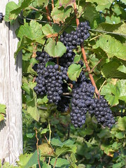 Grapes and Post (eyriel) Tags: leaves vineyard purple post harvest vine winery grapes grapevine dailynaturetnc11