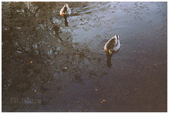 Ducks (RL Stars) Tags: park parque naturaleza film nature water analgica agua ducks estanque photoart vigo patos castrelos 9702 kniger tecendoredes rlstars