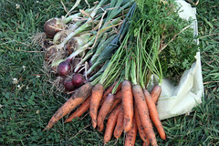 carrot and onion harvest