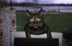 Cat (Fish as art) Tags: lighting pet cats canada cat friend kat chat close slidefilm velvia katze pal northern macska gatto fillflash koka photgraphy katt kissa raupe katta typ nikonf4 katti lechat raubkatze