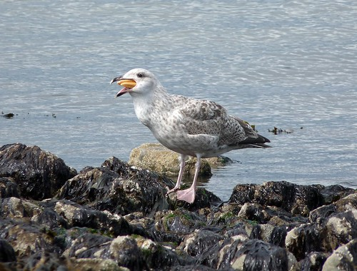 22248 - Herring Gull eating Starfish