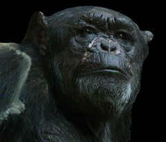 onBlack : Schimpanse mustert mich und Euch (roba66) Tags: animal animals zoo tiere stuttgart ape tierpark primate tier affe wilhelma mokey onblack schimpanse botgarten wilhelma09 roba66 bawrtt zoolgarten