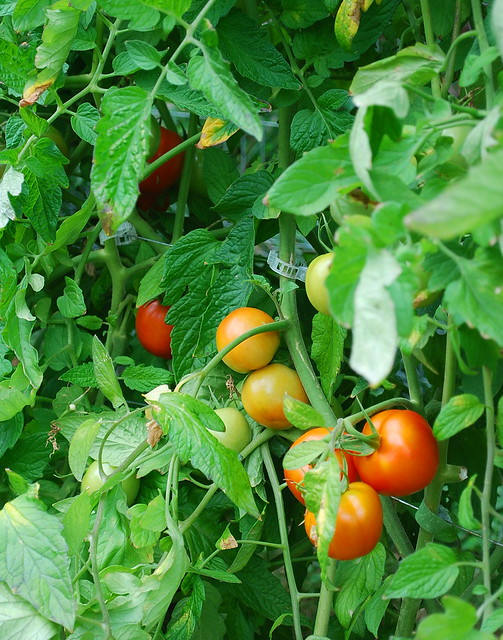 Ripening Red Siberian Tomatoes