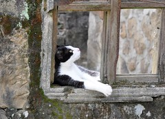 DSC_3119 (perladipace) Tags: window cat thinking moo1
