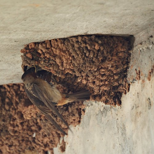 Cliff Swallow Feeding