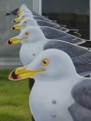 GULLS (naitokz) Tags: japan gull yokohama kanagawa