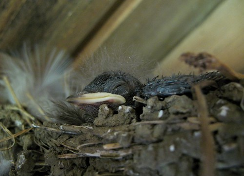 Swallow nestling