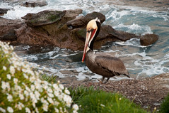Pelican at the Coast (wenzday01) Tags: ocean california ca travel sunset nature nikon pacific sandiego lajolla pelican pacificocean nikkor d90 nikond90 18105mmf3556gedafsvrdx