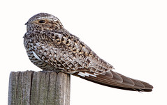 Common Nighthawk (gainesp2003) Tags: bird colorado birding co common nighthawk pawneenationalgrasslands