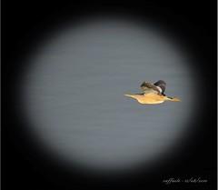 tarabusino in volo 2 (taronik) Tags: natura uccelli animali cacciafotografica