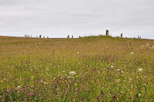 Ring of Brodgar - Wild flower meadow