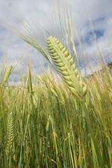 unriped Barley (Janet270) Tags: samsung 24mm f18 10m ois 720p h264 hdmi ex1 fullmanual samsungdigitalcamera samsungcamera amoled smartauto tl500 samsungimaging intellistudio20 3xzoomwide