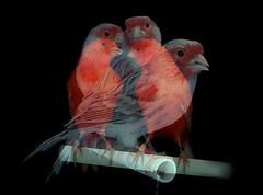 No solo vuela quien tiene alas, sino quien cree poder hacerlo... (conejo721*) Tags: argentina pjaros palabras mardelplata sentimiento poesa poema conejo721 cincocanarios