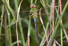 (Emery O) Tags: macro green canon dragonfly common darner 50d