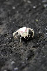 Along came a spider (kallo39) Tags: spider arachnid ewwwww pinkwhitespider