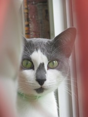 Zoey (Debi's kids (R.I.P. sweet Bobby)) Tags: pet animal cat canon feline zoey kitty kissablekat bestofcats catmoments ronianddarcispetfanclub boc810