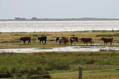 Pretty Wet (ivlys) Tags: summer vacation cows northsea nordsee khe westseite salzwiesen saltmeadow abigfave anawesomeshot ivlys domnebill inseljuist islandjuist vogelinselmemmert