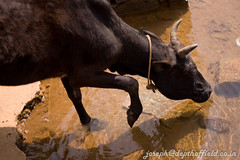 tip toes (Joseph Cairns) Tags: travel india water cow coorg tiptoes