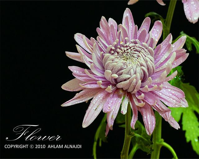 -----اذا يستحق التقييم قيموني---- صور ورد لعشاق الورد للورد