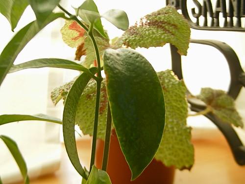 Hoya chlorantha pits 03