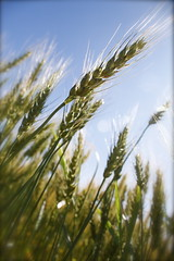 Aug 24/10 - Reach (sdriegel) Tags: summer sun nature field farm wheat harvest agriculture prairies project365