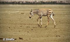 Unsteady legs (tinefis) Tags: africa animal kenya zebra foal lakenakuru