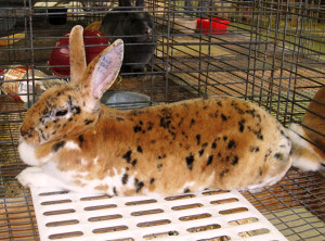 rabbit at fair