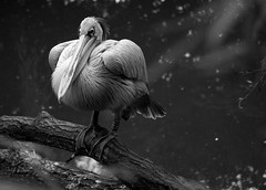 Pink-backed Pelican (TheUnseenScene (previously AnnerleyIRMacro)) Tags: uk pink england bw naturaleza white black bird nature animal zoo mono living europe european critter wildlife natur natura 100v10f pelican ave beast animales alive aus creature animaux fugl  backed animale warwickshire tier vogel oiseaux brute bestie uccello  bestia twycross fgel zoological naturen  bte pinkbacked naturalesa blackwhitephotos  flickraward wonderfulworldmix platinumpeaceaward bestof2010 bestmagicofnature