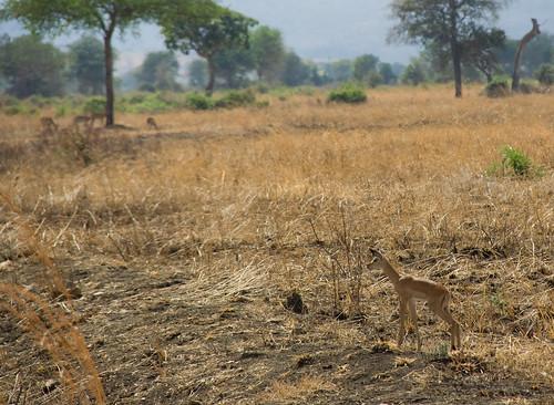 Juvenile Impale - Mikumi National Park, Tanzania
