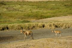 Kongoni - Serengeti National Park, Tanzania