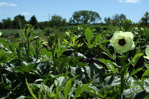 Okra On The Hoof