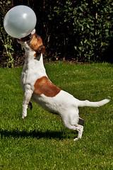 [フリー画像] 動物, 哺乳類, イヌ科, 犬・イヌ, ジャック・ラッセル・テリア, 風船, 201008300500