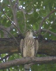 raptor, south dakota, 1