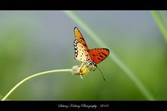 Plain Tiger Butterfly (suhaaz Kechery) Tags: india colors butterfly kerala plaintiger canon450d kechery suhaaz