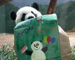 Happy bearfday to Me! (bob2cleo) Tags: bear cub panda endangered za zooatlanta lunlun 2ndbirthday xman xilan xilanbirthday