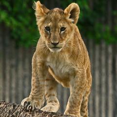 (Gary Wilson แกรี่ วิลสัน) Tags: nature animal canon copenhagen denmark photography eos zoo cub photo foto leo wildlife lion bigcat panther lioncub copenhagenzoo 100400l garywilson 5dmkii