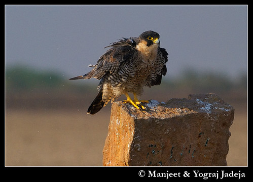 Peregrine Falcon (Falco peregrinus) shaking off loose feathers and dust