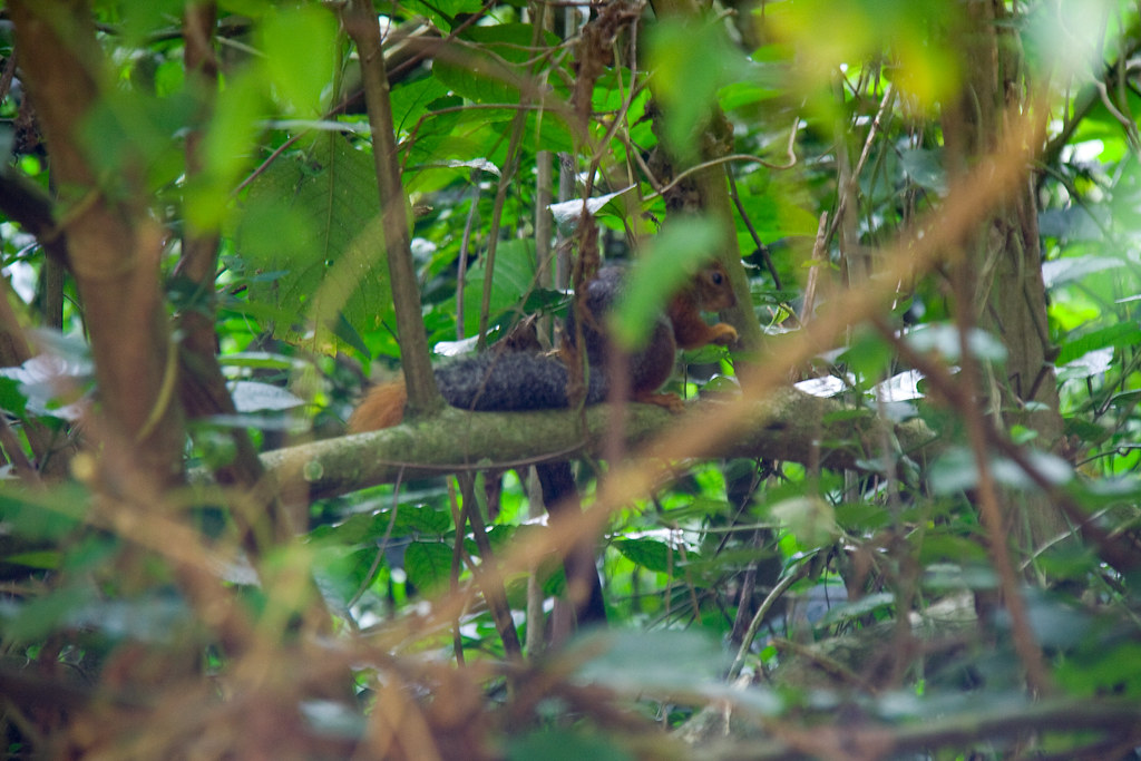 Swynnerton's Bush Squirrel - Mazumbai Forest, Usambara Mountains, Tanzania
