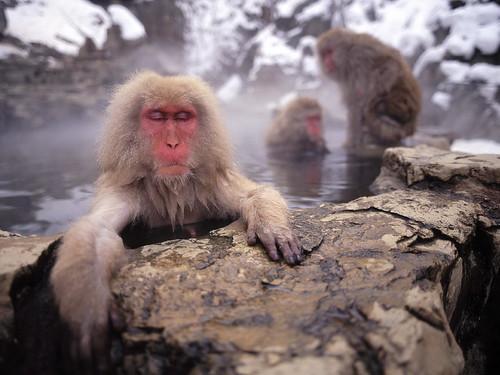 [フリー画像] 動物, 哺乳類, オナガザル科, ニホンザル, お風呂・シャワー, 温泉, 201009220700