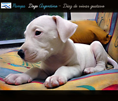 Pampa Dogo Argentino - Diaz de vivar gustavo (Diaz De Vivar Gustavo) Tags: dog love animal puppy that de is buenosaires friend buenos aires lick bulldog gustavo fotos cachorro wound companion footprint pampa noble diaz dogo ranelagh faithful argentino able the dogos