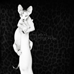 Wild thing, you make my heart sing~ (Pink Pixel Photography (f.k.a. Sunny)) Tags: cat kitten jungle katze wildthing sphynxcat hairlessbreed misssunnypeaches ilovethatcatsomuch haarloserasse