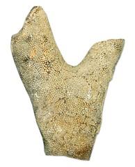 Bryozoa   Ordovician   Fairview Formation   Batavia    Ohio   USA   1.jpg (ShutterStone.com) Tags: ohio usa canada batavia ordovician 1jpg bryozoa fairviewformation