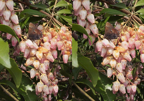 Callophrys ferrea, stereo parallel view