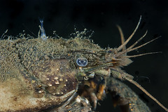 Mysis visit (Arne Kuilman) Tags: macro closeup night nacht diving 60mm freshwater mysis nightdive orconecteslimosus spiegelplas nachtduik 14xteleconverter kreeftje zoetwaterkreeft