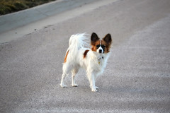Waiting (Pappup2010) Tags: dog pet white cute animal butterfly puppy toy small sable papillon pup pap toybreed butterflydog whiteandsable