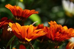 let the light pour in (Nola Nate) Tags: flowers orange plant macro nature leaves leaf petals neworleans blooms botanicalgardens citypark ibeauty