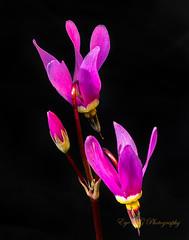 Shooting Stars 2 (Eye of G Photography) Tags: northamerica shootingstars usa washingtonpark washingtonstate macro wildflowers